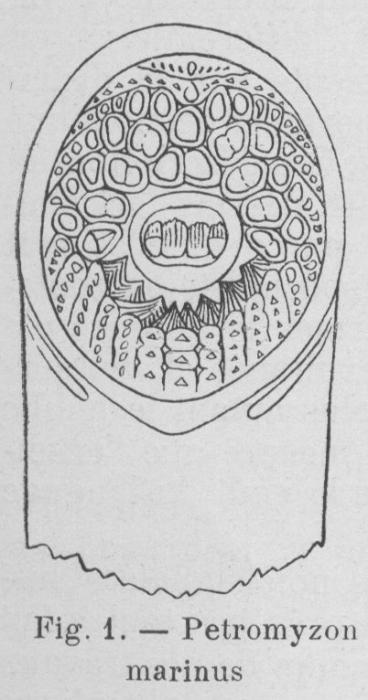 Gilson (1921, fig. 01)
