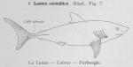 Lamniformes