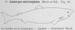 Squaliformes