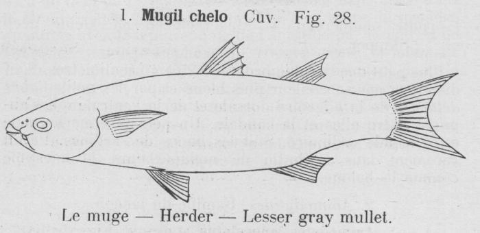 Gilson (1921, fig. 28)