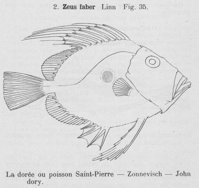 Gilson (1921, fig. 35)