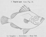 Gilson (1921, fig. 36)