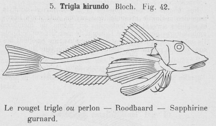 Gilson (1921, fig. 42)
