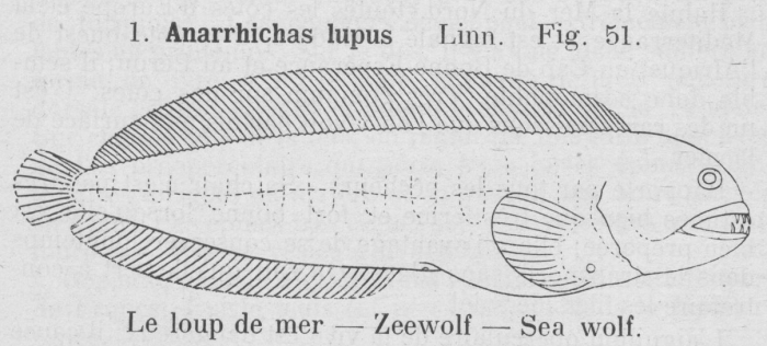Gilson (1921, fig. 51)