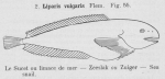 Gilson (1921, fig. 55)
