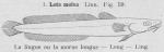 Gilson (1921, fig. 59)