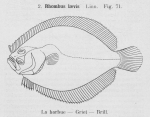 Gilson (1921, fig. 71)