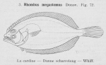 Gilson (1921, fig. 72)