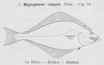 Gilson (1921, fig. 74)