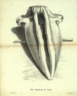 Dubar (1828, pl. 01)