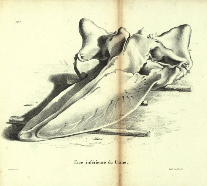Dubar (1828, pl. 02)