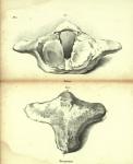 Dubar (1828, pl. 06)
