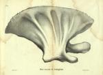 Dubar (1828, pl. 10)