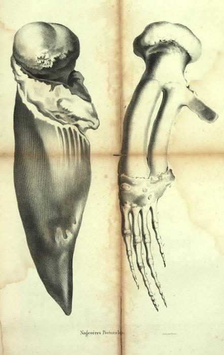 Dubar (1828, pl. 11)
