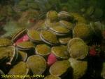 Adamussium colbecki 1