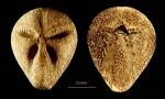 Abatus beatriceae