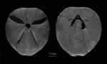 Abatus elongatus