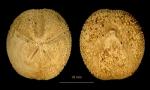 Abatus philippii