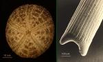 Amphipneustes bifidus