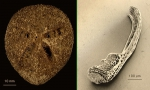 Amphipneustes lorioli
