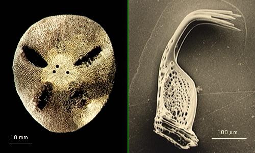 Amphipneustes similis
