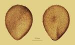 Antrechinus drygalskii