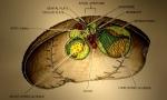 Antrechinus mortenseni