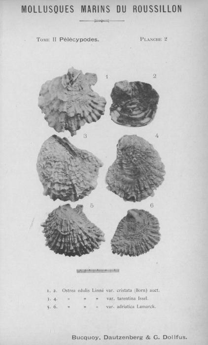 Bucquoy et al. (1887-1898, pl. 02)
