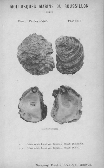Bucquoy et al. (1887-1898, pl. 04)