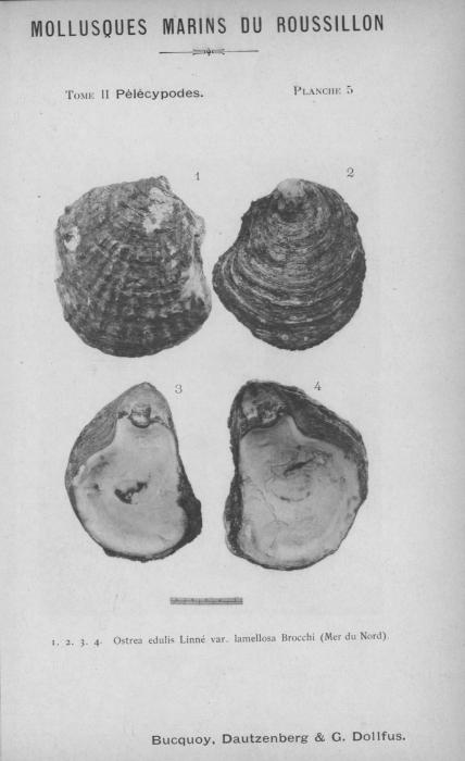 Bucquoy et al. (1887-1898, pl. 05)