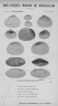 Bucquoy <i>et al.</i> (1887-1898, pl. 39)
