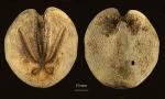 Brisaster antarcticus