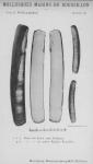Bucquoy et al. (1887-1898, pl. 73)