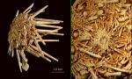 Echinoidea (sea urchins)
