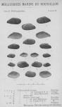 Bucquoy <i>et al.</i> (1887-1898, pl. 91)