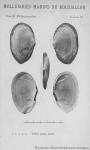 Bucquoy <i>et al.</i> (1887-1898, pl. 94)