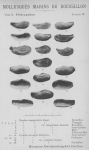 Bucquoy <i>et al.</i> (1887-1898, pl. 98)