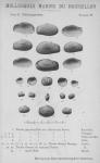Bucquoy <i>et al.</i> (1887-1898, pl. 99)