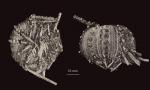 Ctenocidaris polyplax