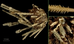 Ctenocidaris spinosa