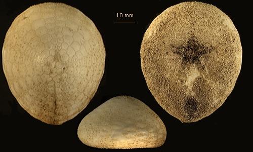 Cystechinus wyvillii