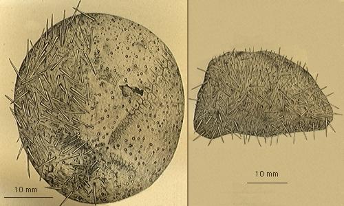 Delopatagus brucei