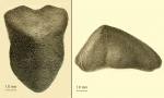 Echinocrepis cuneata