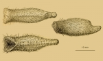 Echinosigra amphora