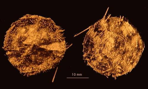 Kamptosoma asterias