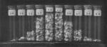 Wery (1908, pl. 22 C.)
