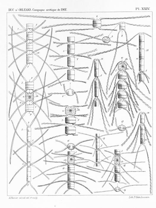 Meunier (1910, pl. 24)