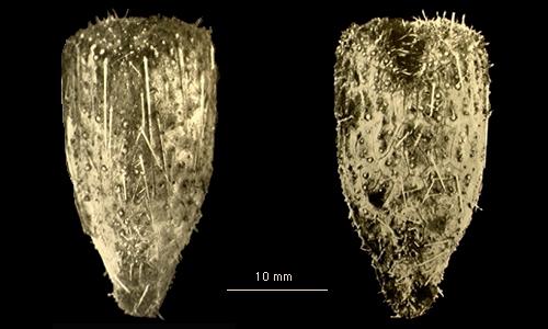Pourtalesia debilis