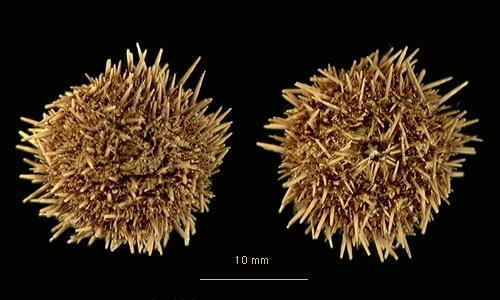 Pseudechinus magellanicus