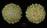 Pseudechinus novaezelandiae